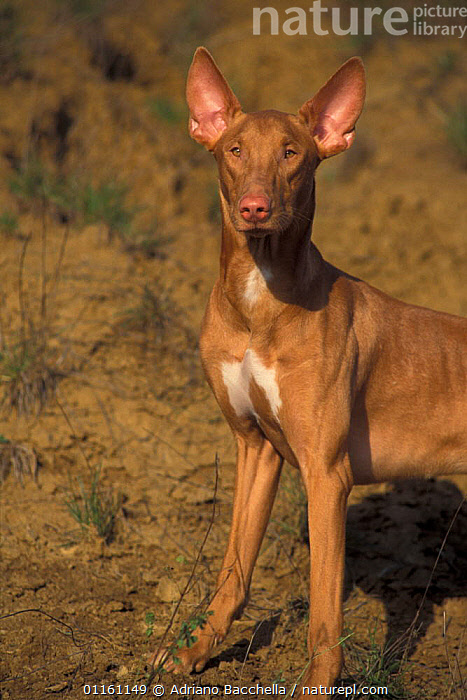 Domestic dog, Pharoah Hound portrait., DOGS,EARS,HOUNDS,PETS,VERTEBRATES,VERTICAL,Canids , outdoors, Adriano Bacchella