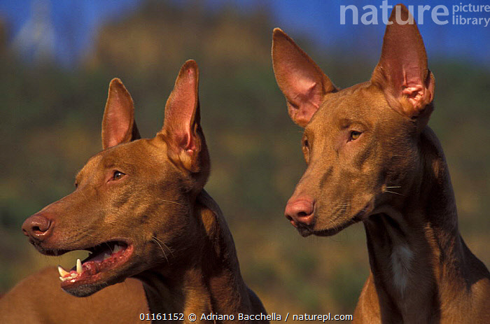 Two Domestic dogs, Pharoah Hounds, DOGS,EARS,HOUNDS,PAIR,PETS,VERTEBRATES,Canids , outdoors, Adriano Bacchella