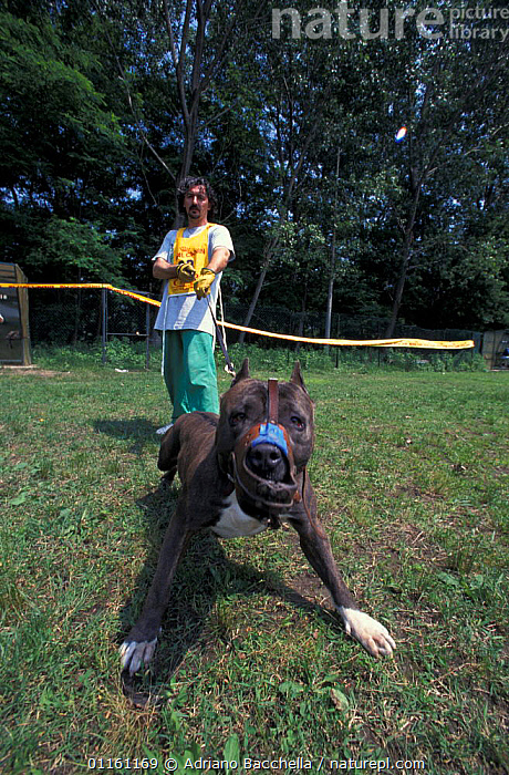 Domestic dog, Pit Bull terrier with muzzle being restrained by owner during Pit Bull competition, USA. The Pit Bull Terrier is a breed banned in many countries.  ,  AGGRESSION,BEHAVIOUR,DANGEROUS,DOGS,FIGHTING,PETS,PORTRAITS,TERRIERS,USA,VERTEBRATES,VERTICAL,North America,Concepts,Canids , outdoors  ,  Adriano Bacchella