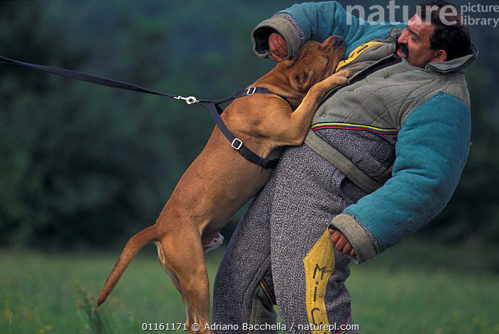 Domestic dog, Pit Bull terrier attacking person, wearing protective clothing, as part of training, USA. The Pit Bull Terrier is a breed banned in many countries.  ,  AGGRESSION,BEHAVIOUR,DOGS,FIGHTING,INTERACTION,PEOPLE,PETS,PROFILE,TERRIERS,USA,VERTEBRATES,North America,Concepts,Canids , outdoors  ,  Adriano Bacchella