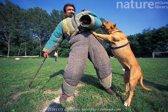 Domestic dog, Pit Bull terrier attacking person, wearing protective clothing, as part of training, USA. The Pit Bull Terrier is a breed banned in many countries.  ,  AGGRESSION,DOGS,FIGHTING,PEOPLE,PETS,TERRIERS,USA,VERTEBRATES,North America,Concepts,Canids , outdoors  ,  Adriano Bacchella