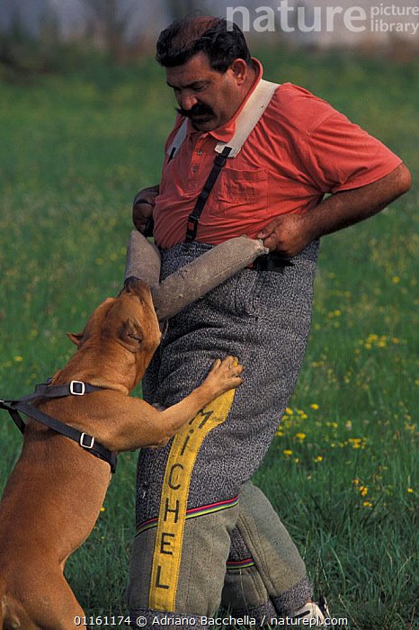 Domestic dog, Pit Bull terrier attacking person, wearing protective clothing, as part of training, USA. The Pit Bull Terrier is a breed banned in many countries.  ,  AGGRESSION,DOGS,FIGHTING,PETS,TERRIERS,USA,VERTEBRATES,North America,Concepts,Canids , outdoors  ,  Adriano Bacchella
