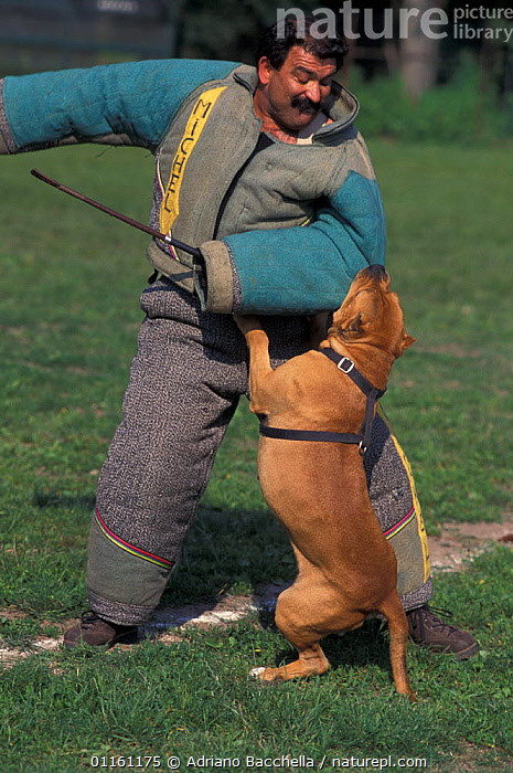 Domestic dog, Pit Bull terrier attacking person, wearing protective clothing, as part of training, USA. The Pit Bull Terrier is a breed banned in many countries.  ,  AGGRESSION,BEHAVIOUR,DOGS,FIGHTING,PEOPLE,PETS,TERRIERS,USA,VERTEBRATES,VERTICAL,North America,Concepts,Canids , outdoors  ,  Adriano Bacchella