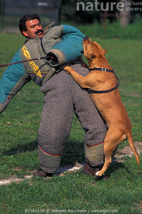 Domestic dog, Pit Bull terrier attacking person, wearing protective clothing, as part of training, USA. The Pit Bull Terrier is a breed banned in many countries.  ,  AGGRESSION,BEHAVIOUR,DOGS,FIGHTING,PETS,TERRIERS,USA,VERTEBRATES,VERTICAL,North America,Concepts,Canids , outdoors  ,  Adriano Bacchella