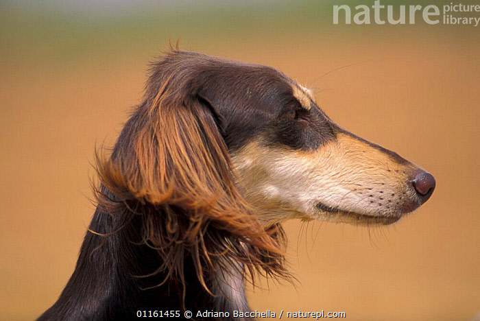 Domestic dog - Saluki profile, DOGS,EARS,FACES,HEADS,HOUNDS,PETS,SIGHTHOUNDS,VERTEBRATES,Canids , outdoors, Adriano Bacchella