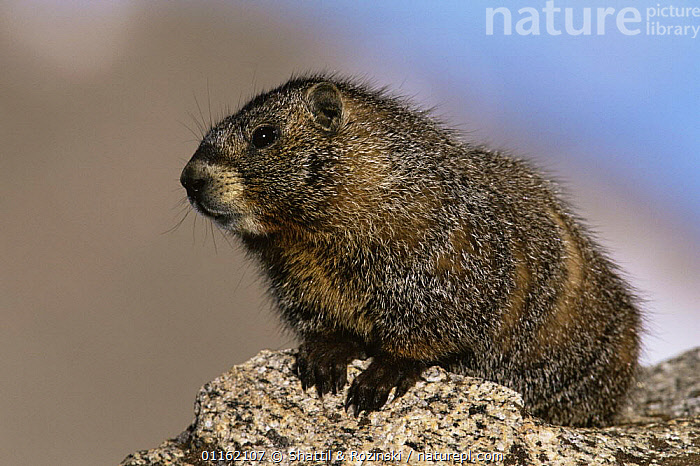 Yellow bellied marmot {Marmota flaviventris} USA  ,  MAMMALS,MARMOTS,NORTH AMERICA,PORTRAITS,RODENTS,USA,VERTEBRATES  ,  Shattil & Rozinski