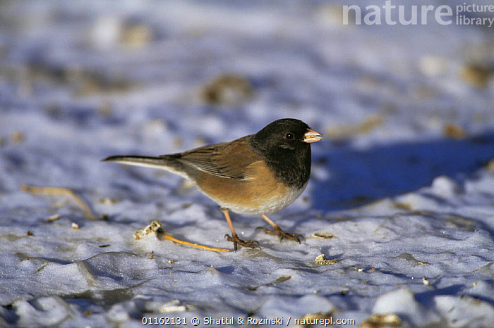 Dark eyed junco {Junco hyemalis} (Oregon race) on snow, Colorado, USA  ,  BIRDS,NORTH AMERICA,SPARROWS,USA,VERTEBRATES,WINTER  ,  Shattil & Rozinski