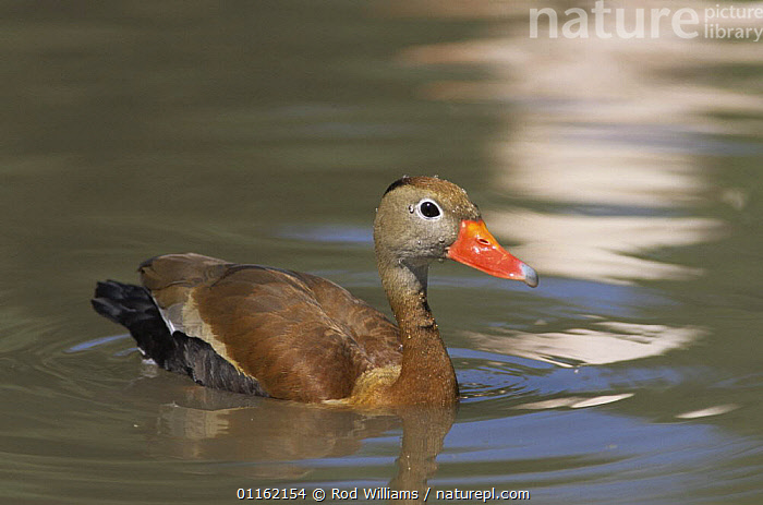 Black bellied whistling duck {Dendrocygna autumnalis} male, captive, from Central and South America  ,  BIRDS,CENTRAL AMERICA,MALES,PORTRAITS,RED BILLED WHISTLING DUCK,SOUTH AMERICA,VERTEBRATES,WATERFOWL,WHISTLING DUCKS,Wildfowl  ,  Rod Williams