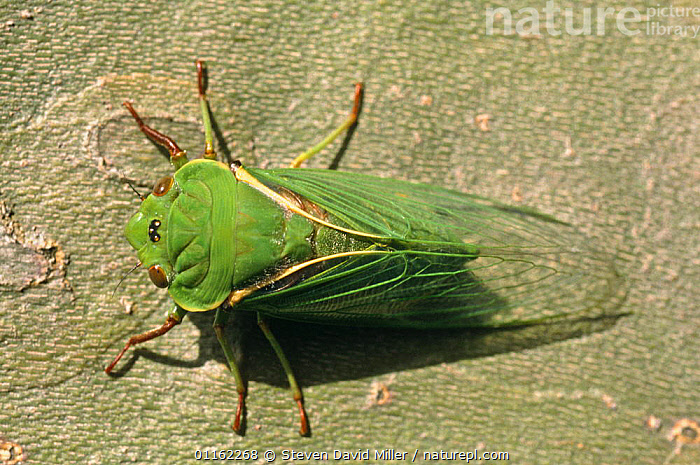 Greengrocer cicada (Cyclochila australasiae) - dorsal view of fully emerged adult, summer, Melbourne, Victoria, Australia  ,  AUSTRALIA,BUGS,CICADAS,GREEN,HEADS,HEMIPTERA,INSECTS,INVERTEBRATES,WINGS  ,  Steven David Miller