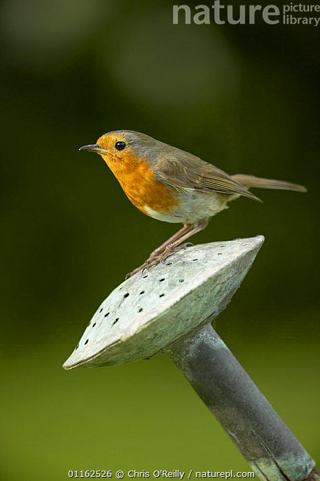 Robin {Erithacus rubecula} Perched on a watering can rose, Derbyshire, UK  ,  BIRDS,EUROPE,FLYCATCHERS,GARDENS,UK,VERTEBRATES,VERTICAL,United Kingdom,British  ,  Chris O'Reilly