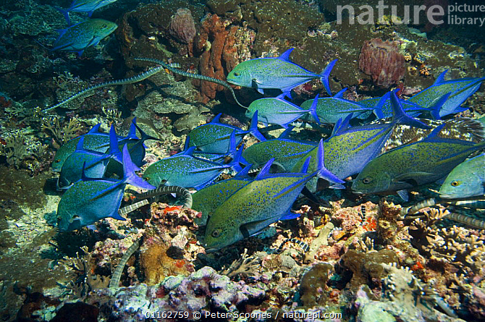 Bluefin Trevallies / jacks (Caranx melampygus) and Chinese sea kraits (Laticauda semifasciata) hunting together over coral reef, Indonesia photographed during making of BBC Planet Earth series 2005  ,  BEHAVIOUR,COOPERATION,CORAL REEFS,FISH,HUNTING,INDO PACIFIC,JACKS,KRAIT,MARINE,MIXED SPECIES,OSTEICHTHYES,REPTILES,SNAKE,SNAKES,TROPICAL,UNDERWATER,VENOMOUS,VERTEBRATES  ,  PETER SCOONES
