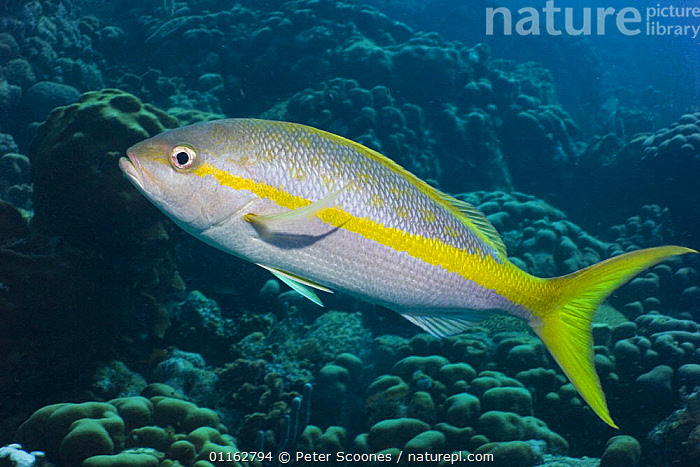 Nature Picture Library - Yellowtail snapper (Ocyurus