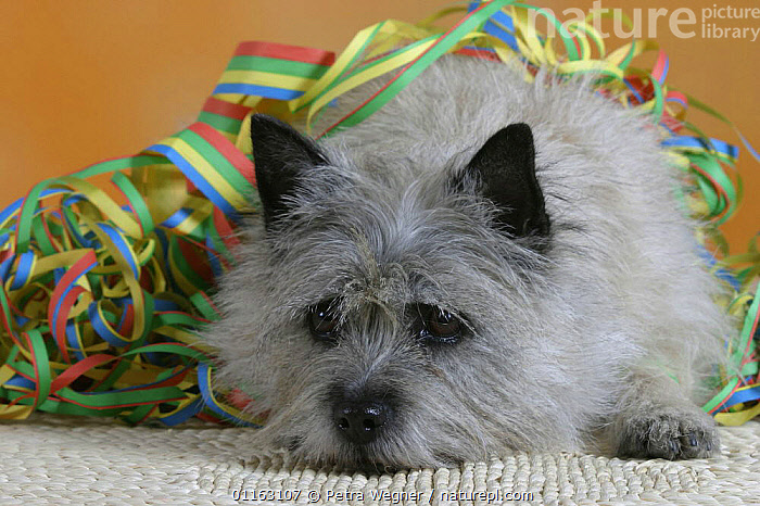 Domestic dog, Cairn Terrier with streamer  ,  CUTE,DOGS,FLUFFY,PEDIGREE,PETS,SAD,SET UP,STUDIO,TERRIERS,VERTEBRATES,Concepts,Canids  ,  Petra Wegner