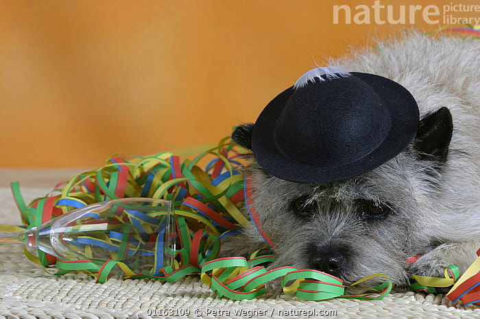 Domestic dog, Cairn Terrier lying in party streamers and wearing a hat  ,  CLOTHES,CUTE,DOGS,HATS,PEDIGREE,PETS,SAD,SET UP,STUDIO,TERRIERS,VERTEBRATES,Concepts,Canids  ,  Petra Wegner