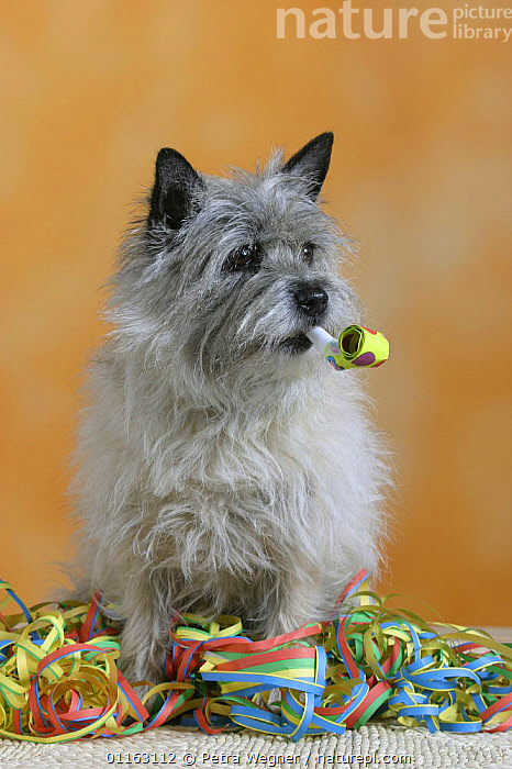 Domestic dog, Cairn Terrier with party flute and streamer  ,  DOGS,FUNNY,PEDIGREE,PETS,SET UP,STUDIO,TERRIERS,VERTEBRATES,VERTICAL,Canids  ,  Petra Wegner