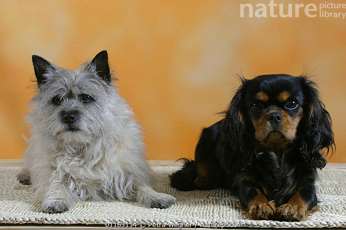 Domestic dogs, Cairn Terrier and Cavalier King Charles Spaniel  ,  BREEDS,CUTE,DOGS,FRIENDS,PEDIGREE,PETS,STUDIO,TERRIERS,TOY DOGS,VERTEBRATES,Canids  ,  Petra Wegner