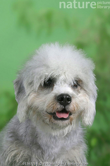 Domestic dog, Dandie Dinmont Terrier puppy  ,  CUTE,DOGS,PANTING,PEDIGREE,PETS,TERRIERS,VERTEBRATES,VERTICAL,Canids  ,  Petra Wegner