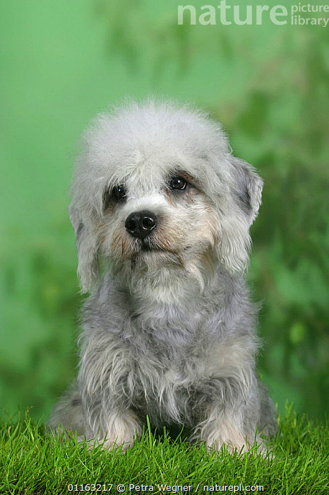 Domestic dog, Dandie Dinmont Terrier puppy  ,  CUTE,DOGS,PEDIGREE,PETS,SITTING,TERRIERS,VERTEBRATES,VERTICAL,Canids  ,  Petra Wegner