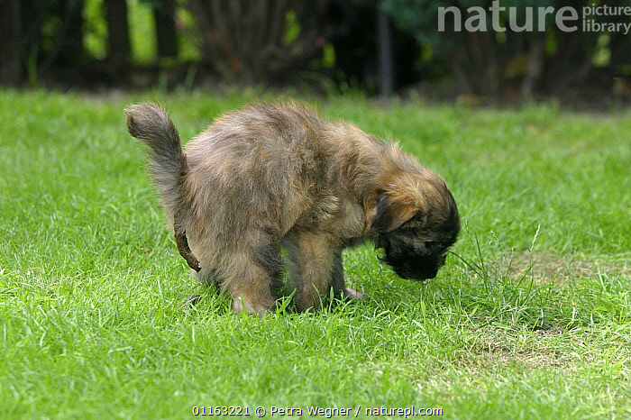 Domestic dog, 7 week-old Pyrenean Shepherd / Berger des Pyrenees puppy defecating on grass  ,  BABIES,BABY,DOGS,EXCRETION,FAECES,JUVENILE,OUTDOORS,PASTORAL,PEDIGREE,PETS,PUPPIES,PUPPY,VERTEBRATES,Canids  ,  Petra Wegner