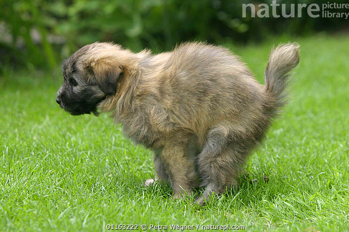 Domestic dog, 7 week-old Pyrenean Shepherd / Berger des Pyrenees puppy defecating on grass  ,  BABIES,BABY,DOGS,EXCRETION,FAECES,JUVENILE,OUTDOORS,PEDIGREE,PETS,PUPPIES,PUPPY,VERTEBRATES,Canids  ,  Petra Wegner