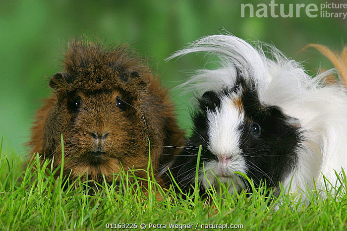 Abyssinian and Peruvian Guinea Pig  ,  BREEDS,CAVIES,CUTE,FACES,FRIENDS,FUNNY,HAIR,MAMMALS,PEDIGREE,PETS,RODENTS,TWO,VERTEBRATES,WEST-AFRICA,Africa  ,  Petra Wegner
