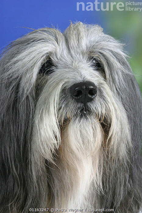 Domestic dog, close up of Polish Lowland Sheepdog's face  ,  CUTE,DOGS,FACES,HAIR,PASTORAL,PEDIGREE,PETS,VERTEBRATES,VERTICAL,Canids  ,  Petra Wegner