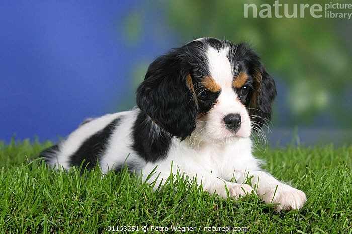 Domestic dog, Cavalier King Charles Spaniel puppy (tricolor) 8 weeks old  ,  BABIES,BABY,CUTE,DOGS,JUVENILE,LYING DOWN,PEDIGREE,PETS,PUPPIES,PUPPY,TOY DOGS,VERTEBRATES,Canids  ,  Petra Wegner