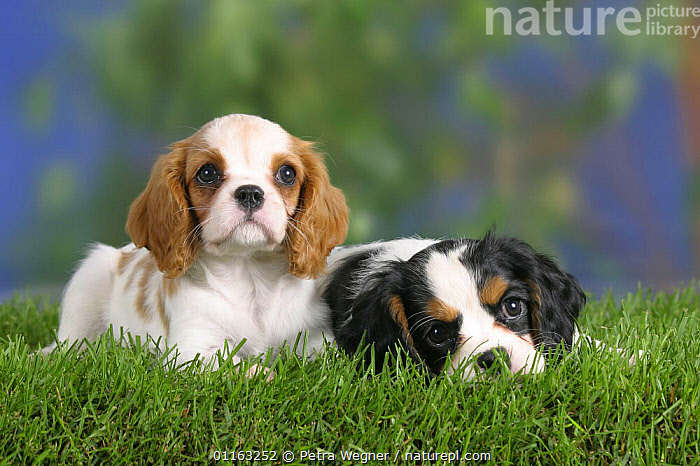 Domestic dog, Cavalier King Charles Spaniel puppies (Blenheim and tricolor) 8 weeks old  ,  BABIES,BABY,CUTE,DOGS,FRIENDS,JUVENILE,LYING DOWN,PEDIGREE,PETS,PUPPIES,PUPPY,TOY DOGS,VERTEBRATES,Canids  ,  Petra Wegner