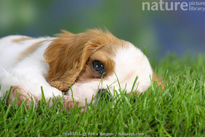 Domestic dog, Cavalier King Charles Spaniel puppy (Blenheim) 8 weeks old  ,  BABIES,BABY,CUTE,DOGS,JUVENILE,LYING DOWN,PEDIGREE,PETS,PUPPIES,PUPPY,TOY DOGS,VERTEBRATES,Canids  ,  Petra Wegner