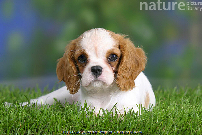 Domestic dog, Cavalier King Charles Spaniel puppy(Blenheim) 8 weeks old  ,  BABIES,BABY,CUTE,DOGS,JUVENILE,LYING DOWN,PEDIGREE,PETS,PUPPIES,PUPPY,TOY DOGS,VERTEBRATES,Canids  ,  Petra Wegner