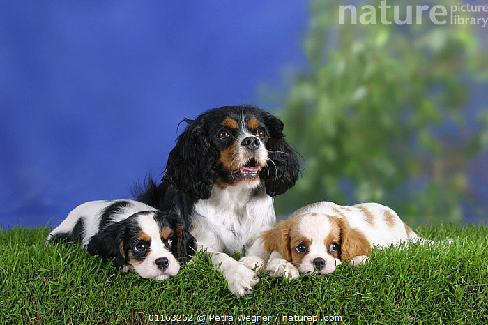 Domestic dog, Cavalier King Charles Spaniel with puppies (Blenheim and tricolor) 8 weeks old  ,  BABIES,BABY,CUTE,DOGS,FAMILIES,JUVENILE,LYING DOWN,PEDIGREE,PETS,PUPPIES,PUPPY,TOY DOGS,VERTEBRATES,Canids  ,  Petra Wegner