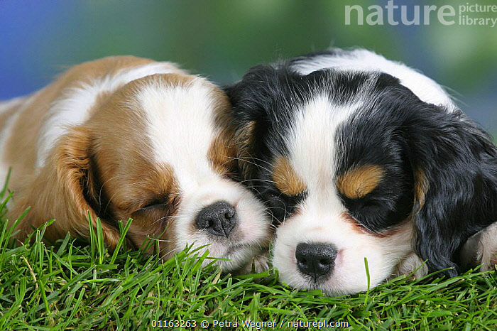 Domestic dog, sleeping Cavalier King Charles Spaniel puppies (Blenheim and tricolor) 8 weeks old  ,  BABIES,BABY,CUTE,DOGS,FACES,FRIENDS,JUVENILE,LYING DOWN,PEDIGREE,PETS,PUPPIES,PUPPY,TOY DOGS,VERTEBRATES,Canids  ,  Petra Wegner