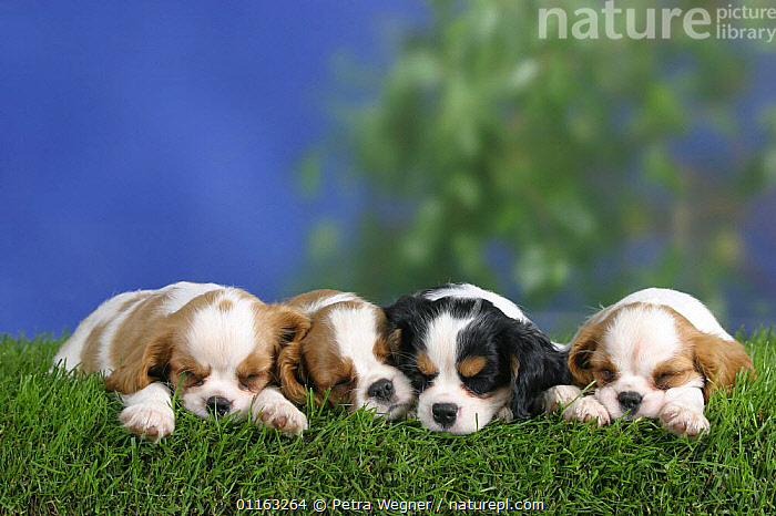 Domestic dogs, four sleeping Cavalier King Charles Spaniel puppies (Blenheim and tricolor) 8 weeks old, lying in a line  ,  BABIES,BABY,CUTE,DOGS,FRIENDS,JUVENILE,LYING DOWN,PEDIGREE,PETS,PUPPIES,PUPPY,ROW,TOY DOGS,VERTEBRATES,Canids  ,  Petra Wegner