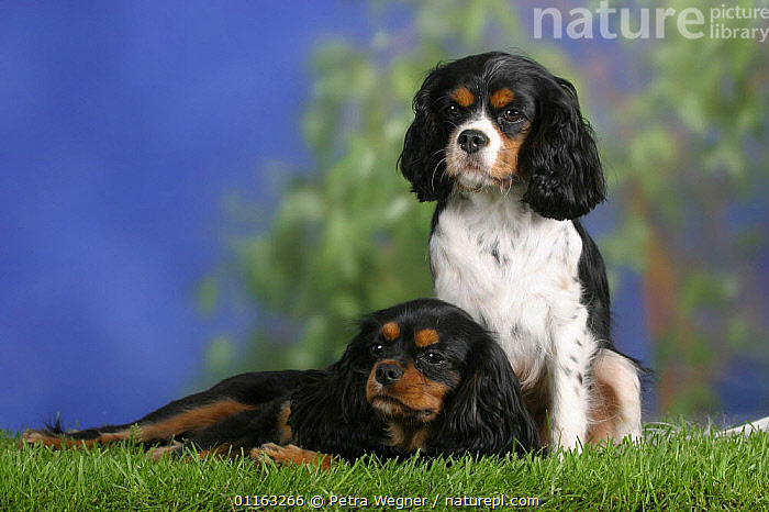 Domestic dog, two Cavalier King Charles Spaniels (black and tan and tricolor)  ,  DOGS,FRIENDS,LYING DOWN,PAIR,PEDIGREE,PETS,SITTING,STANDING,TOY DOGS,TRICOLOUR,VERTEBRATES,Canids  ,  Petra Wegner