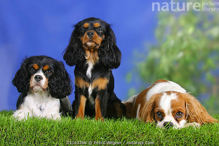 Domestic dog, three Cavalier King Charles Spaniels (black and tan, tricolor and Blenheim)  ,  COLOR,COLOUR,DOGS,FRIENDS,LYING DOWN,PEDIGREE,PETS,SITTING,STANDING,TOY DOGS,TRICOLOUR,VERTEBRATES,Canids  ,  Petra Wegner