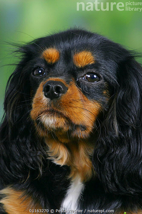 Domestic dog, close up of Cavalier King Charles Spaniel (black and tan)  ,  DOGS,FACES,PEDIGREE,PETS,TOY DOGS,VERTEBRATES,VERTICAL,Canids  ,  Petra Wegner