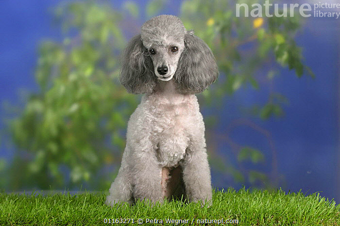 Domestic dog, silver Toy Poodle  ,  CUTE,DOGS,PEDIGREE,PETS,SITTING,STANDING,UTILITY,VERTEBRATES,WORKING,Canids  ,  Petra Wegner