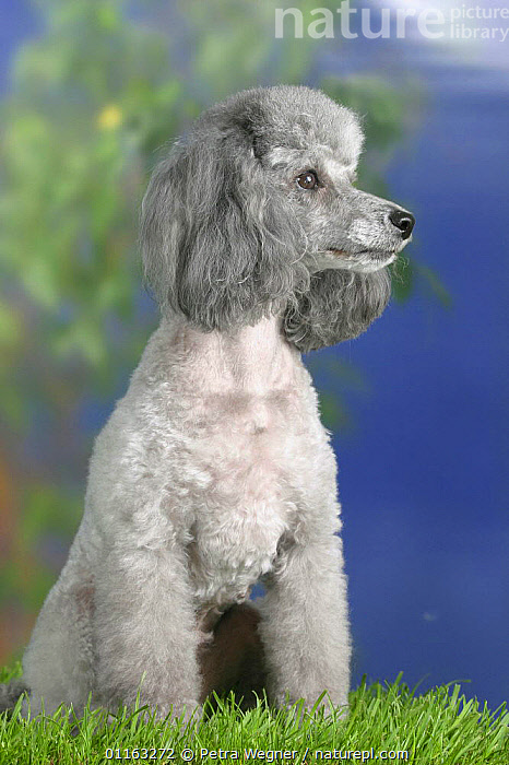 Domestic dog, silver Toy Poodle looking to the side  ,  DOGS,PEDIGREE,PETS,PROFILE,SITTING,STANDING,UTILITY,VERTEBRATES,VERTICAL,WORKING,Canids  ,  Petra Wegner