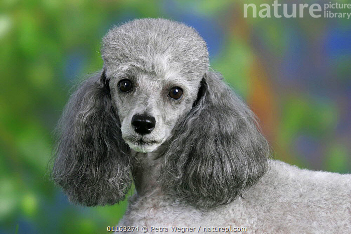 Domestic dog, silver Toy Poodle  ,  DOGS,FACES,PEDIGREE,PETS,UTILITY,VERTEBRATES,WORKING,Canids  ,  Petra Wegner