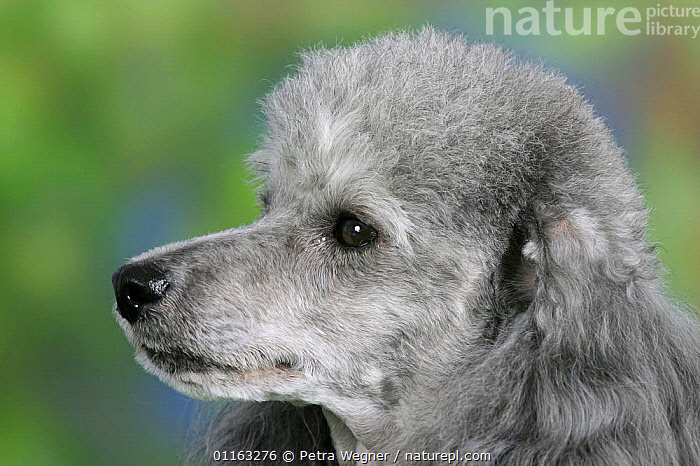 Domestic dog, close up of silver Toy Poodle's face  ,  DOGS,FACES,HEADS,PEDIGREE,PETS,PROFILE,UTILITY,VERTEBRATES,WORKING,Canids  ,  Petra Wegner