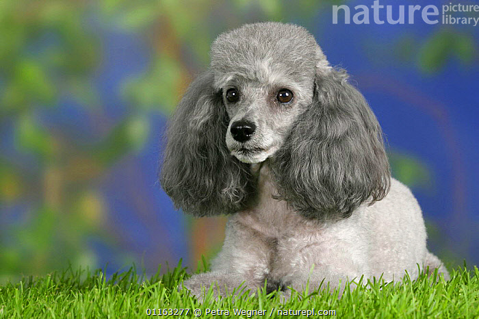 Domestic dog, silver Toy Poodle  ,  CUTE,DOGS,LYING DOWN,PEDIGREE,PETS,UTILITY,VERTEBRATES,WORKING,Canids  ,  Petra Wegner