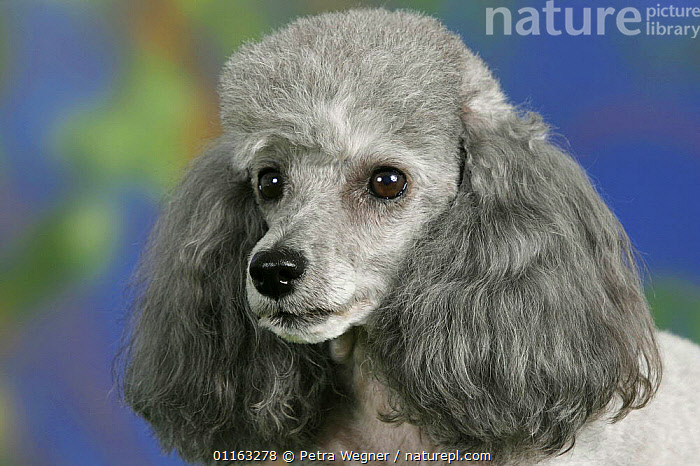 Domestic dog, silver Toy Poodle  ,  CUTE,DOGS,FACES,PEDIGREE,PETS,UTILITY,VERTEBRATES,WORKING,Canids  ,  Petra Wegner