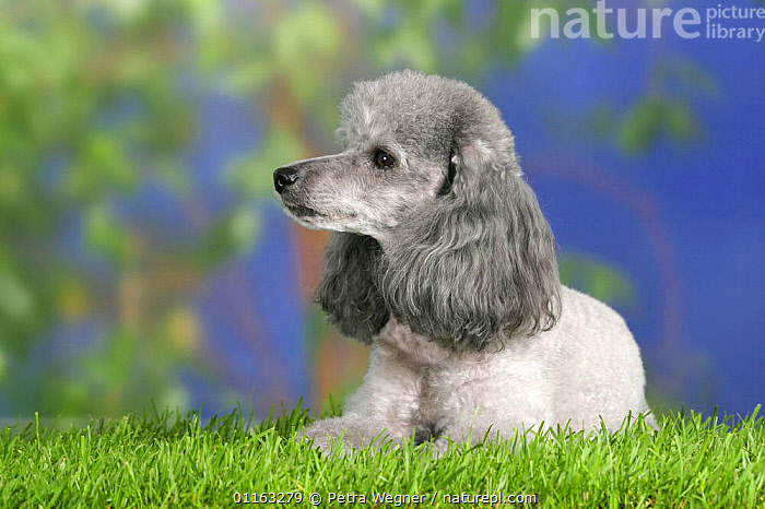 Domestic dog, silver Toy Poodle profile  ,  CUTE,DOGS,LYING DOWN,PEDIGREE,PETS,UTILITY,VERTEBRATES,WORKING,Canids  ,  Petra Wegner