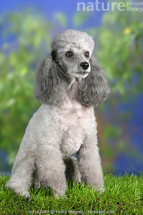 Domestic dog, silver Toy Poodle  ,  DOGS,PEDIGREE,PETS,SITTING,STANDING,UTILITY,VERTEBRATES,VERTICAL,WORKING,Canids  ,  Petra Wegner