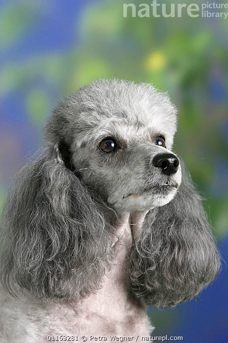 Domestic dog, silver Toy Poodle  ,  DOGS,FACES,HEADS,PEDIGREE,PETS,UTILITY,VERTEBRATES,VERTICAL,WORKING,Canids  ,  Petra Wegner