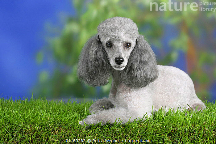 Domestic dog, silver Toy Poodle  ,  DOGS,LYING DOWN,PEDIGREE,PETS,UTILITY,VERTEBRATES,WORKING,Canids  ,  Petra Wegner