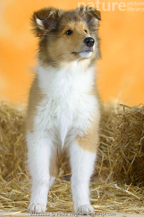 Domestic dog, Rough Collie puppy, 12 weeks old  ,  BABIES,BABY,CUTE,DOGS,JUVENILE,PASTORAL,PEDIGREE,PETS,PUPPIES,PUPPY,STANDING,VERTEBRATES,VERTICAL,Canids  ,  Petra Wegner