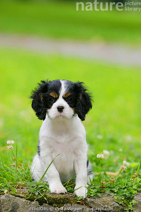 Domestic dog, Cavalier King Charles Spaniel puppy (tricolor) 8 weeks old  ,  BABIES,BABY,CUTE,DOGS,JUVENILE,OUTDOORS,PEDIGREE,PETS,PUPPIES,PUPPY,SITTING,STANDING,TOY DOGS,VERTEBRATES,VERTICAL,Canids  ,  Petra Wegner