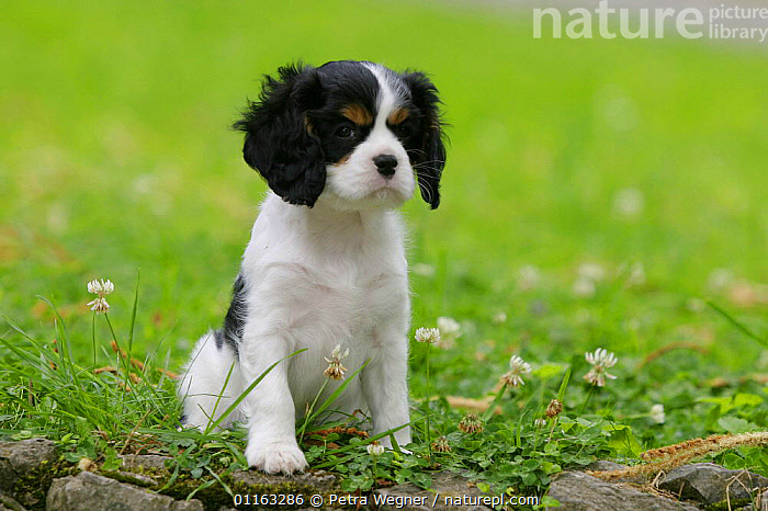 Domestic dog, Cavalier King Charles Spaniel puppy (tricolor) 8 weeks old  ,  BABIES,BABY,CUTE,DOGS,JUVENILE,OUTDOORS,PEDIGREE,PETS,PUPPIES,PUPPY,SITTING,STANDING,TOY DOGS,VERTEBRATES,Canids  ,  Petra Wegner