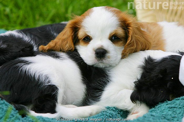 Domestic dog, Cavalier King Charles Spaniel puppy (Blenheim) lying on sleeping pups (tricolor) 8 weeks old  ,  BABIES,BABY,CUTE,DOGS,JUVENILE,LYING DOWN,OUTDOORS,PEDIGREE,PETS,PUPPIES,PUPPY,TOY DOGS,VERTEBRATES,Canids  ,  Petra Wegner